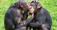Male and Female Chimpanzees