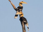 Male and Female Great Indian Hornbills