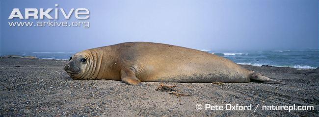 Northern Elephant Seal Male And Female Mirounga Angustirostris