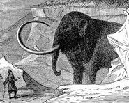 What Really Wiped Out the Woolly Mammoths