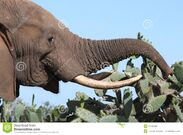 African-elephant-eating-cactus-17429806