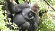 Cincinnati Zoo Gorilla (V2)
