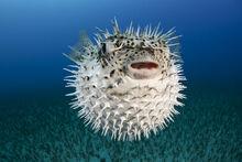 Spotted-porcupinefish-iii-dave-fleetham