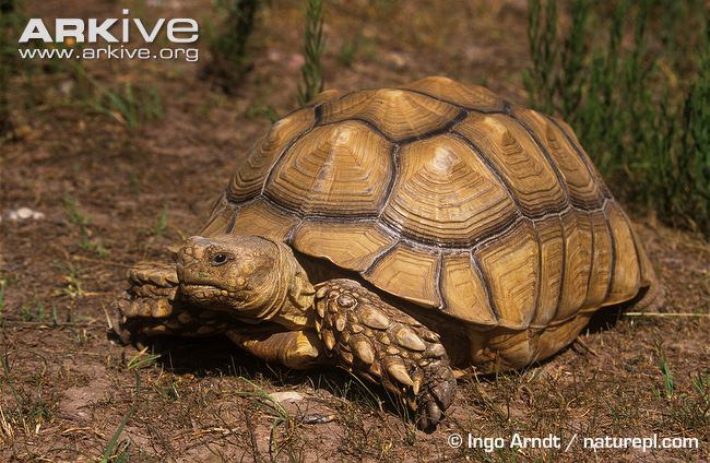 African spurred tortoise - photo#39