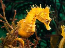 Cool-hd-seahorse-wallpaper-1440x1080