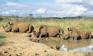 White Rhinos at Rest
