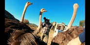 SDZ TV Series Ostriches