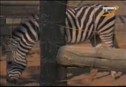 Scout's Safari Zebra