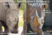Black-rhino-vs-white-rhino-heads1