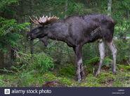 Moose, Eurasian Elk