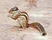 Indian palm squirrel-1-2