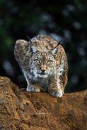 Noah's Ark Lynxes