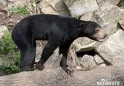 Sun-bear-75895