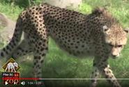 Tampa Lowry Park Zoo Cheetah