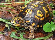 Turtle, eastern box