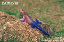 Common-agama-on-a-rock