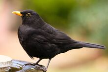 Common Blackbird by David Friel
