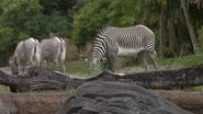 DAK Grévy's Zebra