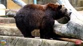 Milwaukee County Zoo Grizzly Bear