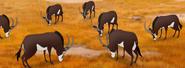 Sable Antelope TLG