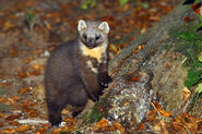 EuropeanPineMarten
