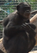 Milwaukee County Zoo Chimpanzee