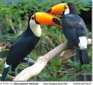 Pair of Toucans