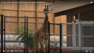 Seneca Park Zoo Giraffe