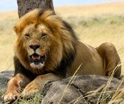 West-African-Lion