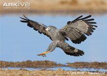African-harrier-hawk-landing