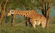 HugoSafari - Giraffe21