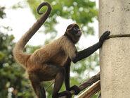 Spider Monkey, Geoffroy's