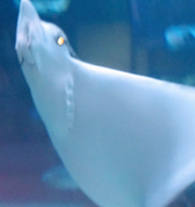 Toledo Zoo Spotted Eagle Ray