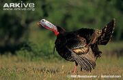 Wild-turkey-male-calling
