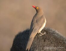 550px-Red-billed Oxpecker