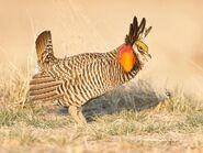 Chicken, Greater Prairie