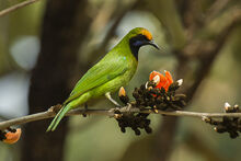 Golden-fronted Leafbird - Bandavhgarh - India 8120 (16844995627)