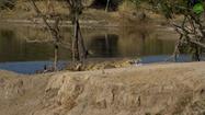 Hippopotamus and Crocodile