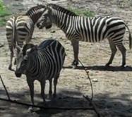 Kansas City Zoo Zebras