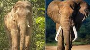 Male Asian Elephant and Male African Elephant