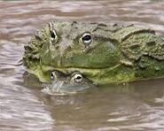 Sexing African Bullfrogs