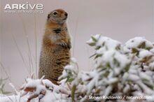 Arctic-ground-squirrel-in-snow