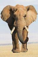 Attacking Elephant