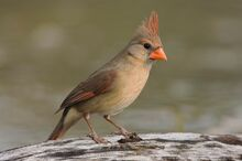 Female-northern-cardinal-bird 10475