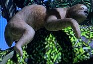 Linnaeus's Two-Toed Sloth ZTX