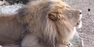 Saint Louis Zoo Lion