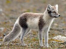Arctic-fox-summer-coat
