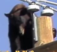 Bear, American Black (Untamed and Uncut)