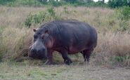 Common-hippopotamus-in