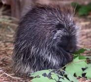 Utica Zoo Porcupine